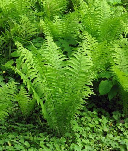 Папороть орляк - лісовий овоч