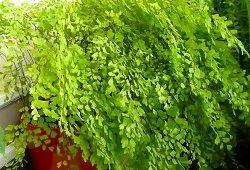 Папороть з ажурним листям
