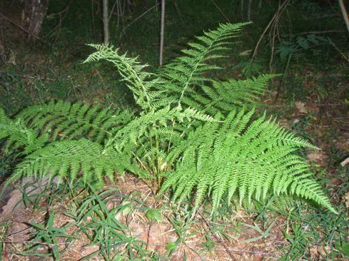 Папороть в лісі - таємниче рослина з давніх часів