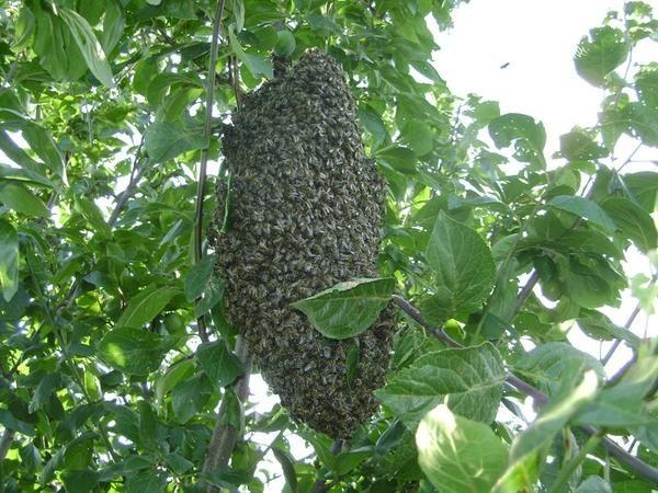 Рій бджіл в моєму саду