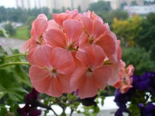 Пеларгонія (герань) - квітка притягає любов