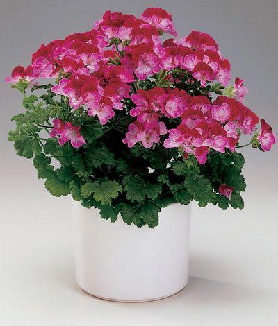 Пеларгонія зональна - квітка для дому та вулиці