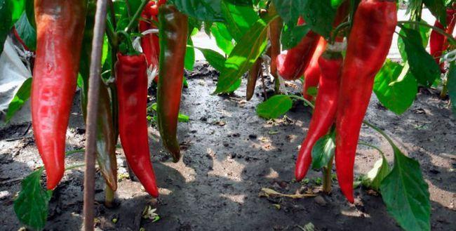 Перець - вирощування і догляд у відкритому грунті