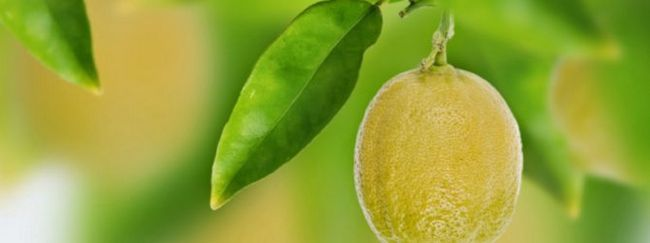 Пересадка лимона