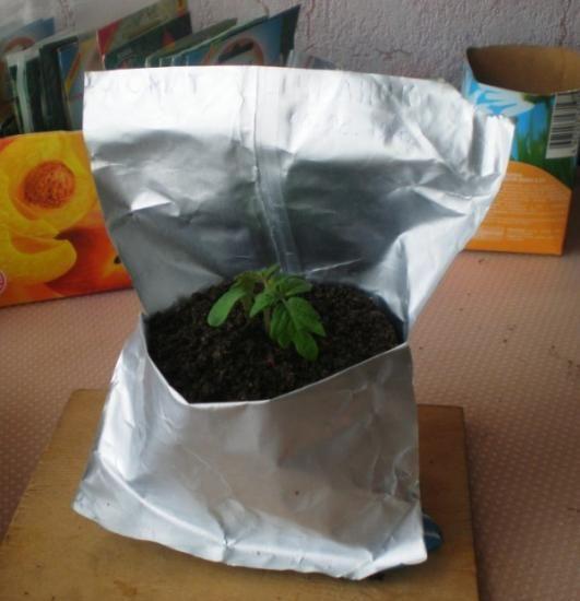 Пересадка розсади помідор заставу сильної розсади