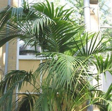 Перисті пальми і їх вирощування