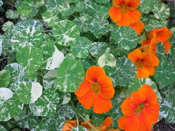 Ряболисті квіткові рослини - «родзинки» дач