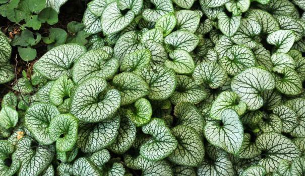 Ряболисті рослини для квітників частина 4
