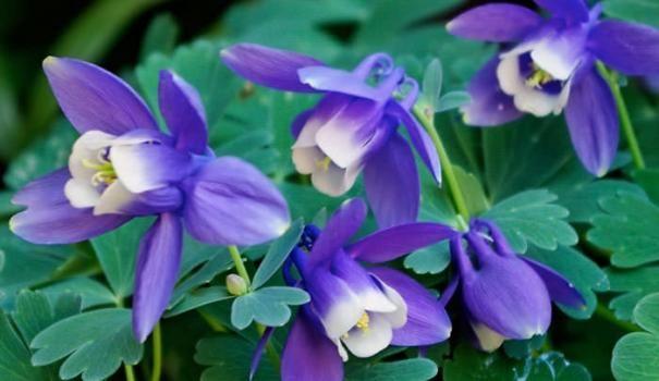 Ряболисті рослини для квітників частина 5