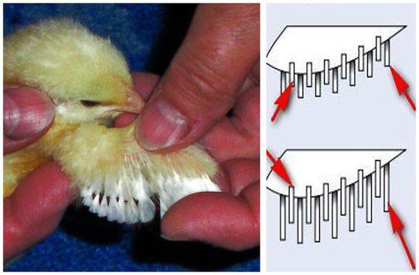 Крильце курчати і схема розташування пір`я. Це курочка.