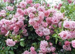 Плетиста троянда: правила посадки та догляду