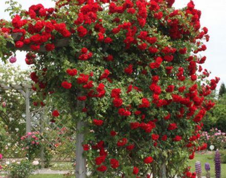 Плетиста троянда симпатія прикрасить будь-який ландшафт