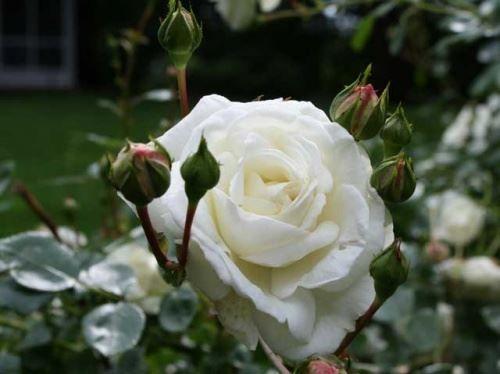 В`юнкі троянди - від посадки до цвітіння