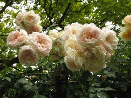 В`юнкі троянди по групах - рамблери і клаймінгі