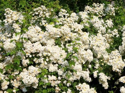 Біла троянда Rambling Rector