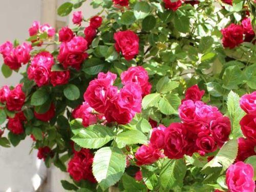 Роза червоно-малинова Flammentanz