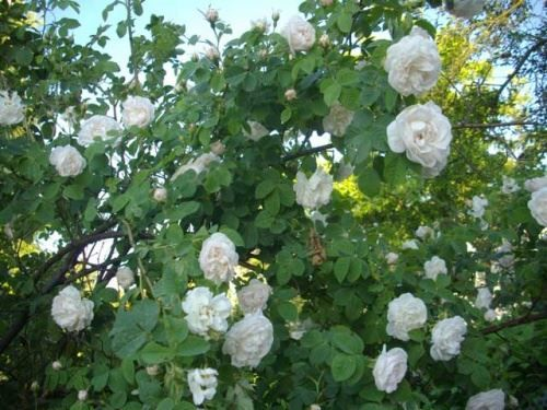 Чайна плетистая троянда