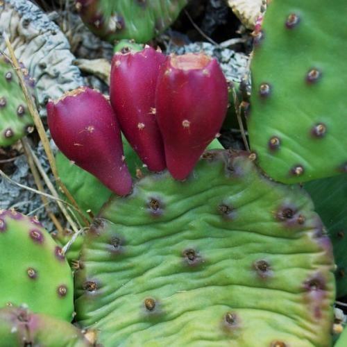 Їстівні плоди опунції