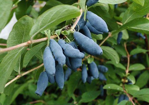 У ягодах жимолості багато вітамінів і органічних кислот