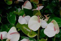Чому не цвіте антуріум, хвороби і шкідники загубили квітку?