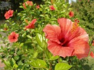 Чому не цвіте гібіскус влітку?