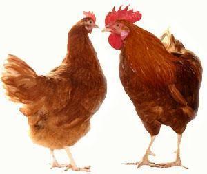 Червоні білохвості кури: чудове джерело м`яса і яєць