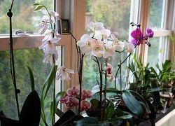 Чому у орхідеї починають жовтіти листя?
