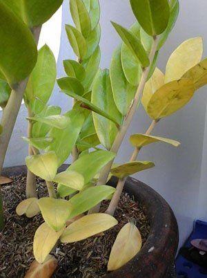 Жовтіє листя заміокулькаса
