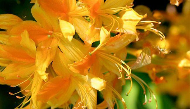 Чому жовтіє листя у рододендрона?