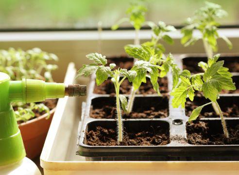 Грунт для посіву томатів на розсаду