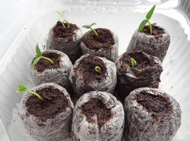 Для насіння створюються штучні умови зими