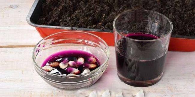 півгодини потримати насіння в марганцевому розчині рожевого кольору