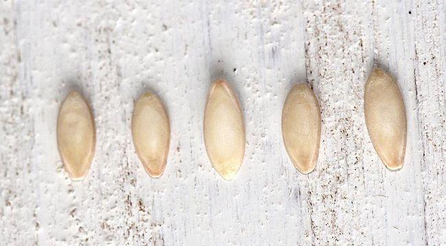 насіння, огірки, вирощування огірків, підготовка насіння, розсада