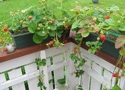 Вирощування ароматної полуниці в домашніх умовах
