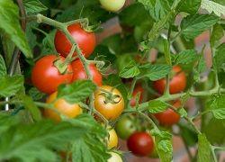 Підживлення томатів і перцю з моменту посадки і до бутонізації