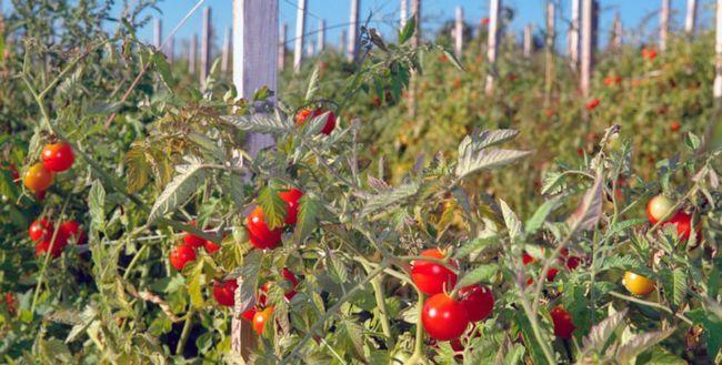 Підв`язка помідор у відкритому грунті