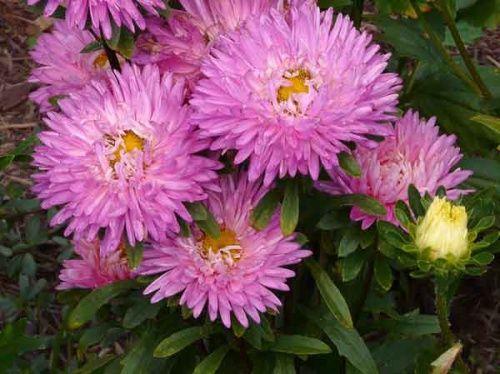 Підзимовий посів айстри і інших квітів