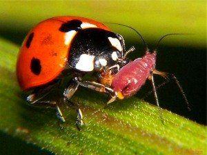 Корисні комахи сайту і городу