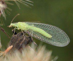 Які є корисні комахи для городу?
