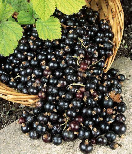 Корисні властивості чорної смородини на варті здоров`я