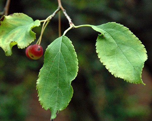 Корисні властивості і вітамінний чай з листя яблуні