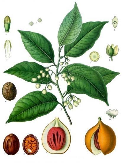 Корисні властивості мускатного горіха і небезпека вживання його у великій кількості