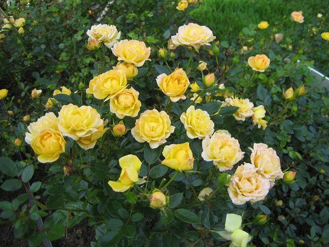 Поліантових троянди: сорти і види
