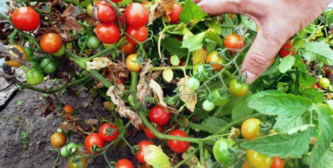 Помідори - вирощування і догляд у відкритому грунті