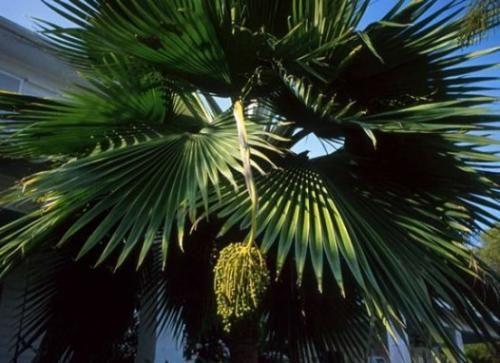 Спробуємо розібратися як доглядати за фінікової пальми