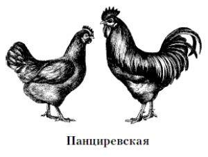 Порода курей панціревская - чорні або білі - не важливо