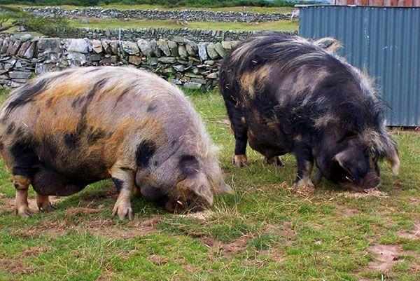 Породи свиней з описами і фото для розведення на подвір`ї