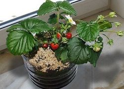 Вирощування апетитною суниці з насіння: перші клопоти