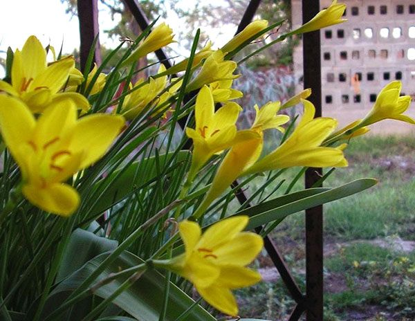 цвіте зефирантес