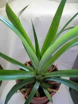 Як росте ананас